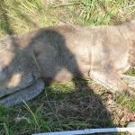Wolf in Wolmirstedt wurde angefahren - Polizist musste ihn erschießen